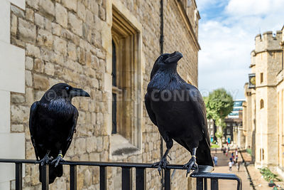 Ravens At The Tower Of London (3)