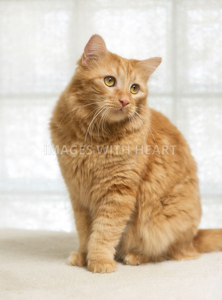 Full body orange cat sitting