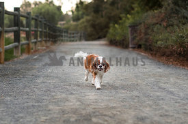 happy cavalier king charles spaniel dog running down path