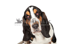 basset hound headshot with eye contact against white backdrop