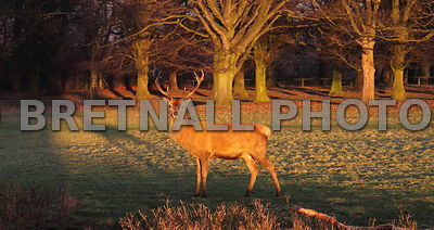 Stag in the Afternoon Sun