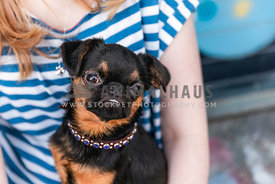 Brussels griffon puppy sits on woman's lap