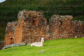 Alpaca (Vicugna pacos) sitting in front of Inca building in Pumamarca site,  Patacancha Valley, Cusco Region, Peru