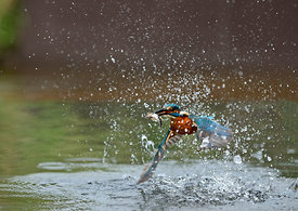 Common Kingfisher Alcedo atthis with Minnow Worcestershire July