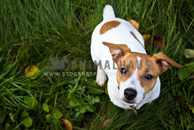 Jack Russell sitting in the grass looking up