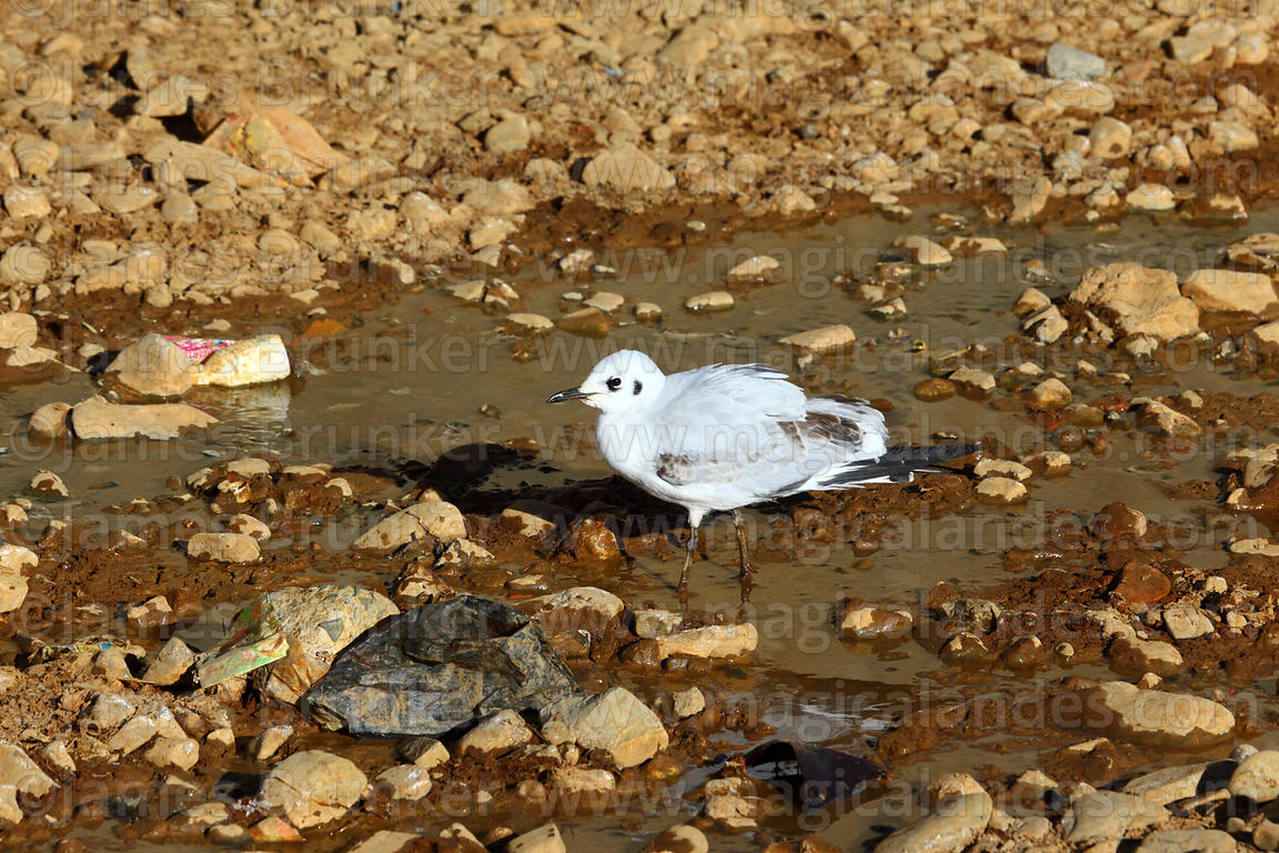 Immature Andean gull (Larus or Chroicocephalus serranus) in 1st winter plumage in polluted Rio Seco river