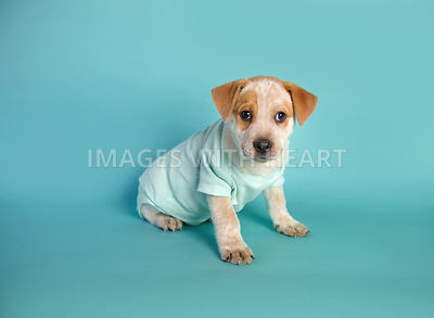 male tan and white puppy in a light blue onesie on turquoise background paper