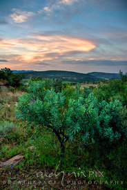 An indigenous protea tree in  highveld vegetation, bush-covered valley and hills in the distance, sunset lighting up clouds i...