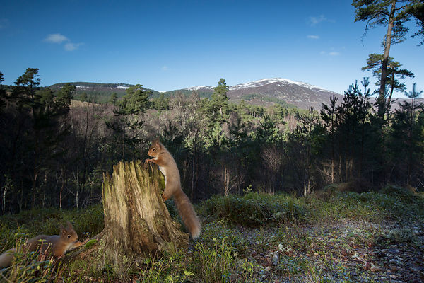 Red Squirrels, Cairngorms National Park