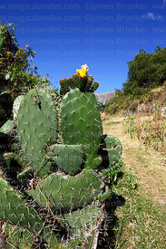 Opuntia ficus-indica or prickly pear cactus in flower