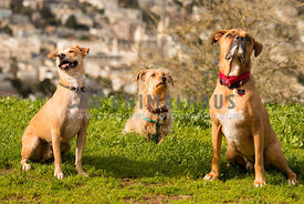 Boxer, scruffy and mutt sniffing the air and enjoying the outdoors.