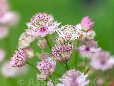 Astrantia photos