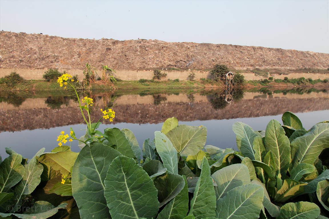 Cabbage being farmed near the Dhapa Dumping Ground, the primary landfill for Kolkata, India.