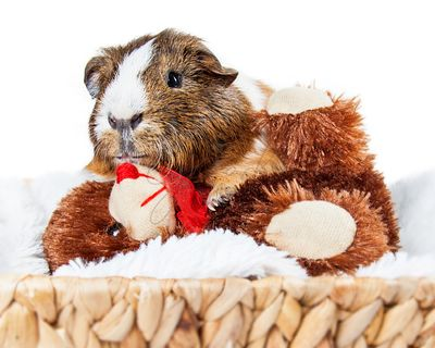 Guinea Pig Snuggling With Teddy Bear