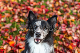 Border collie with colorful fall leaves