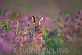 Brown Hare Lepus Europaeus among Red Campion in meadow North Norfolk spring