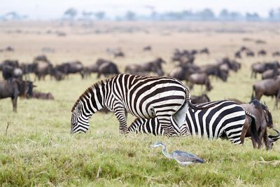 Zebra and Wildebeest Grazing in Africa