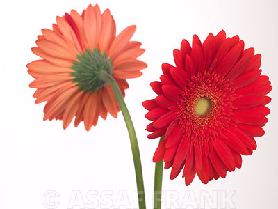 Two red gerbera daisy flowers