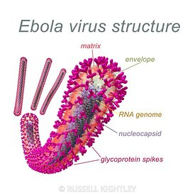 Ebola Virus Structure Annotated #51