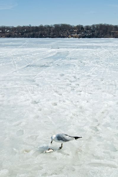 Gull On Presque Isle Bay- Erie, PA