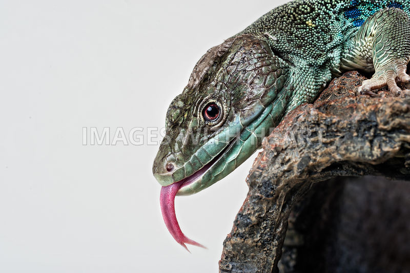 Jeweled lacerta with tongue out