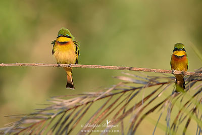 Bee-eater pair in asymmetrical balance