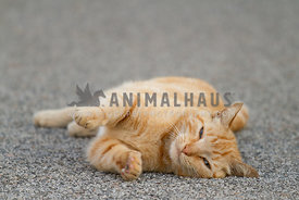 An orange tabby cat laying on the pavement reaching towards the camera