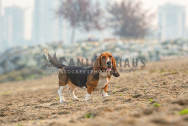 full body basset hound standing and looking at the camera