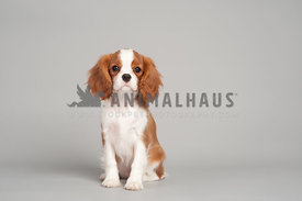 blenheim cavalier king charles puppy sitting nice on a gray background