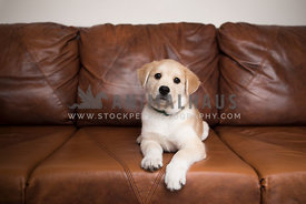 Tan and white puppy on couch