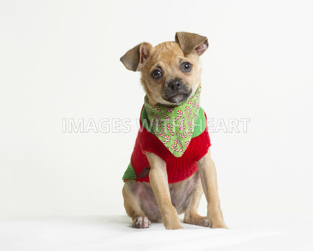 Puppy wearing holiday bandana looking a the camera