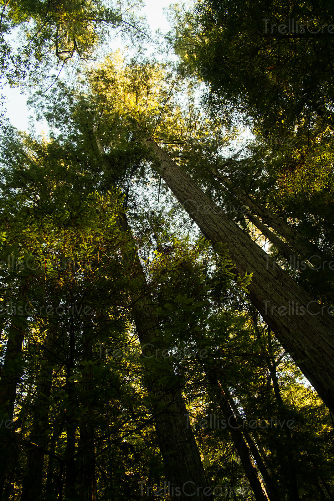 Low angle view of the redwood trees with there canopy