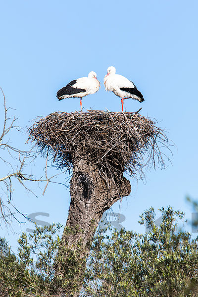 White Storks in Doñana National Park