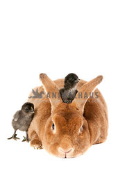 Red bunny rabbit with baby chicks isolated on white