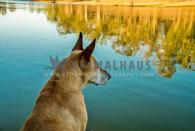 Large dog, ears up looking into river with golden tree reflections
