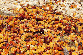 Maize (Zea mays) drying on ground in Sacred Valley, Peru