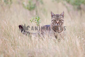Angry looking tabby cat in field
