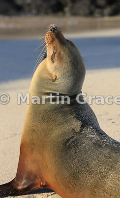 Galapagos Sea Lion (Zalophus californianus wollebacki or wollebaeki) on the beach at golden hour, Cerro Brujo, San Cristobal,...