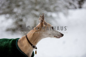whippet dog with coat and collar looking right