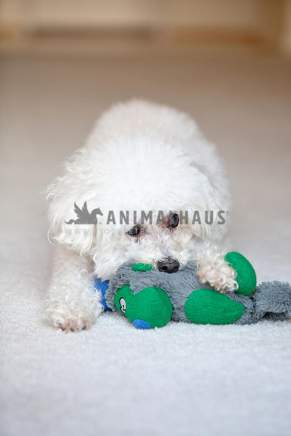 old-blind-white-poodle-playing-with-old-monkey-stuffed-animal-toy