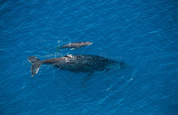 Aerial view of Humpback whale and calf (Megaptera novaeangliae) Mayote Island lagoon, Comores Island, North Madagascar, India...