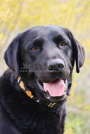 happy smiling adult black Labrador dog with beaded collar outdoors