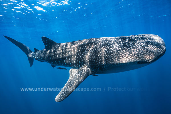 Whale shark :  The biggest fish of the world