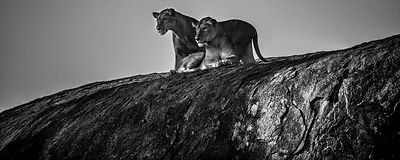 2970-Lion-Somebody_is_coming_Tanzania_2015_Laurent_Baheux