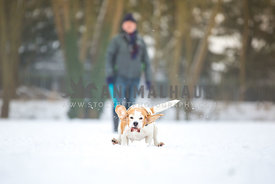 Beagle running in the snow with owner
