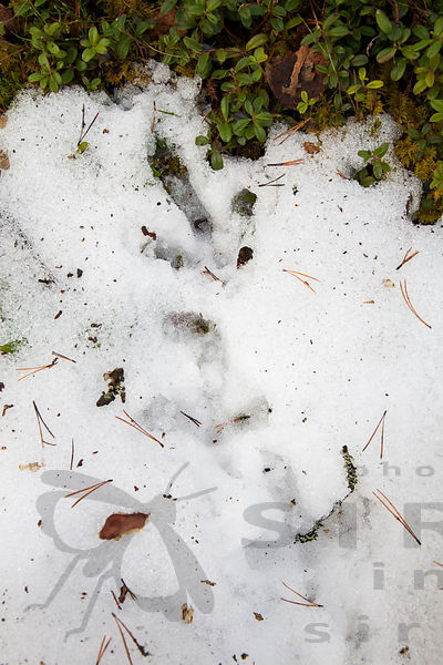 Male Capercaillie's Prints on Lekking Site
