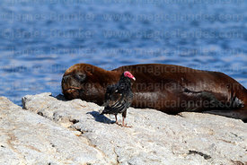 Turkey vulture (Cathartes aura) and female South American sea lion (Otaria flavescens) sleeping