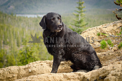 senior black lab atop mountain with trees and lake