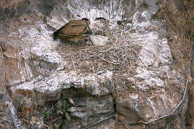 Long billed vulture (Gypus indicus) at nest on cliff ledge with young chick. Critically threatened Indian bird of prey due to...