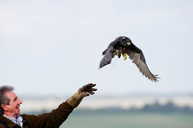 Falconer Alan Van Wynck releasing a Peregrine to hunt partridges Lincolnshire at British Falconers International meet 2010